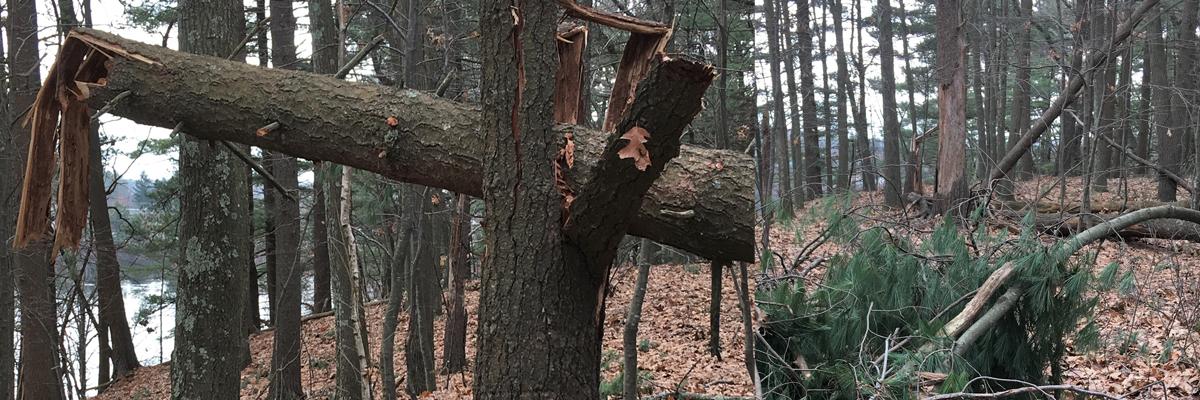 Wind-damaged trees